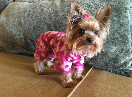 Shimmertime Toycuties Yorkies Yorkshire Terrier Shimmer dog