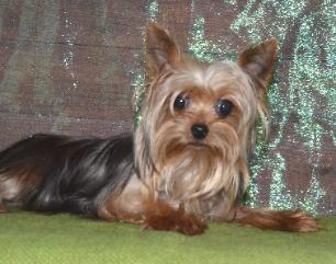 Toy Yorkies – Wow Blog